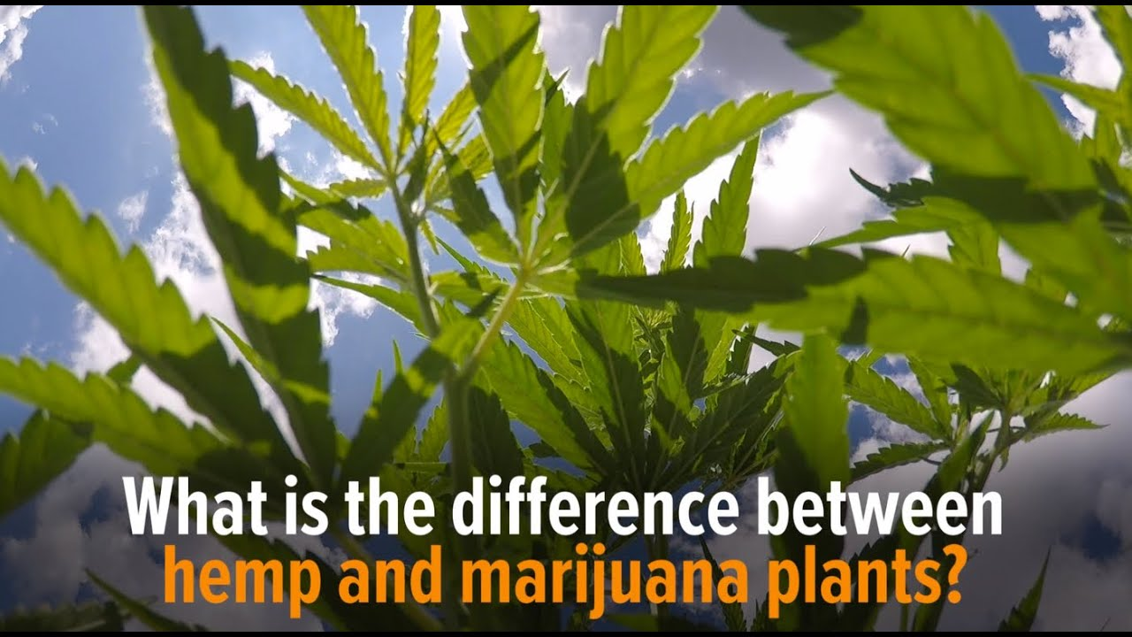 Difference between marijuana & hemp
