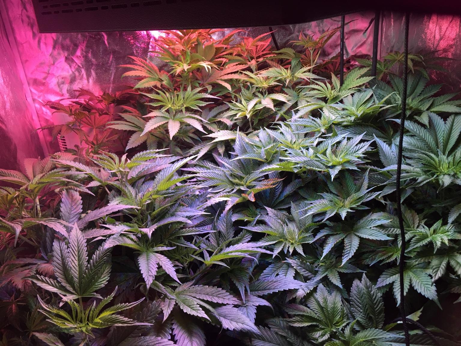 Persian OG kush cannabis Strain